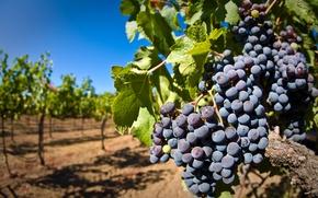 Картинка листья, ягоды, виноград, гроздь, виноградник, кисть, лоза