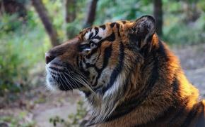 Обои тигр, хищник, морда, профиль, дикая кошка