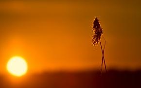 Картинка солнце, свет, закат, травинка, метелка