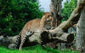 Картинка кошка, трава, леопард, бревно
