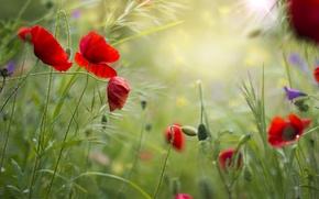 Картинка поле, лето, трава, цветы, маки, красные