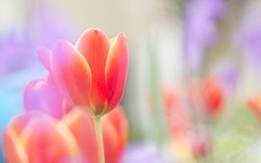Картинка цветок, красный, яркий, нежность, тюльпан, весна, размытость, бутон, алый