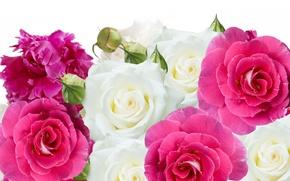 Обои цветы, пионы, розы, бутоны