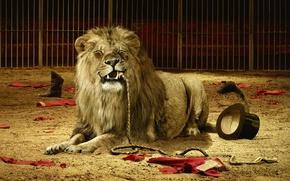 Обои кошка, животные, лев