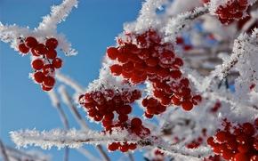 Картинка зима, иней, рябина