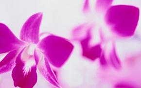 Обои белый фон, Цветы, розовый