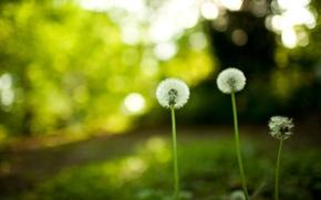 Картинка цветы, природа, одуванчики, dandelions