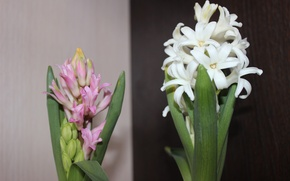 Картинка цветы, гиацинт, цветок дождя