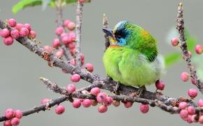 Картинка ягоды, птица, ветка, Тайваньский чернобровый бородастик, Азиатский дятел