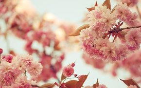 Обои небо, листья, деревья, цветы, ветки, ветви, цвет, весна, лепестки, сакура, розовые, цветение