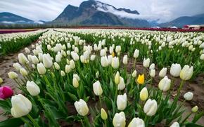 Картинка поле, облака, пейзаж, цветы, горы, роса, тюльпаны, белые