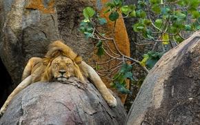 Картинка природа, фон, лев