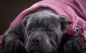 Картинка морда, собака, Кане Корсо