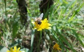 Картинка flower, wild, bee