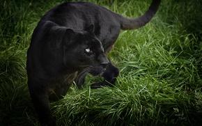 Картинка трава, хищник, пантера, дикая кошка, черный леопард
