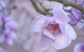 Картинка цветок, дерево, весна, магнолия