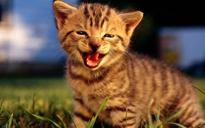 Обои улыбка, котенок, природа