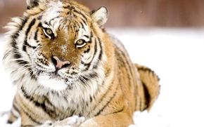 Обои зима, взгляд, снег, тигр