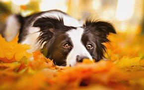Картинка грусть, осень, глаза, морда, листья, собака, лежит, бордер-колли, портерт, обои от lolita777