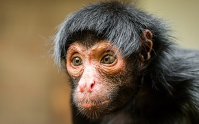 Обои взгляд, обезьяна, Black spider monkey