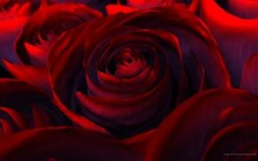 Обои цветы, рендеринг, роза, красота, лепестки, red, красная, flower, Rose, beautiful nature wallpapers