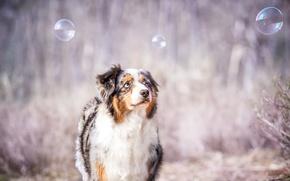 Обои собака, взгляд, пузыри, друг