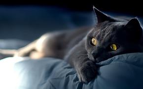 Обои кошка, глаза, кот, усы, взгляд, морда, котяра