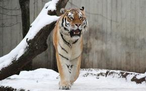 Картинка кошка, снег, тигр, дерево, амурский
