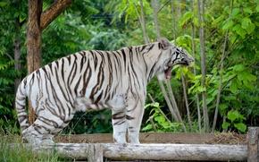 Картинка хищник, пасть, клыки, белый тигр, дикая кошка, зевает