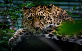Картинка зелень, взгляд, листья, животное, хищник, леопард, бревно