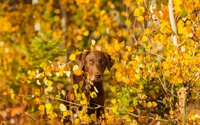 Картинка осень, взгляд, природа, друг, собака