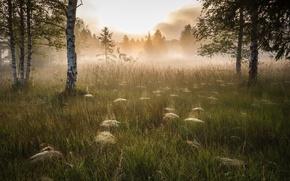 Картинка туман, утро, берёзы