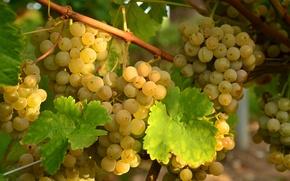 Обои белый, гроздья, виноград, лоза, листья