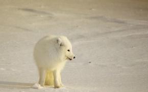 Картинка winter, snow, wildlife, white fox