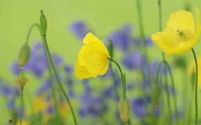 Картинка поле, цветы, маки, желтые, семена, бутоны