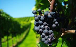 Обои ветки, виноград, виноградники, грона, лства
