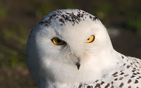 Картинка белый, глаза, макро, сова, птица, филин