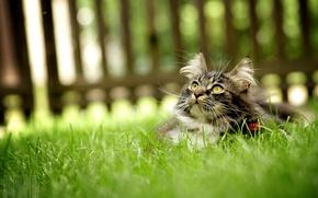 Обои кошка, забор, трава