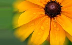 Обои вода, лепестки, цветок, капли