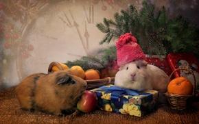 Картинка животные, шапка, игрушки, часы, ель, подарки, мандарины, морские свинки