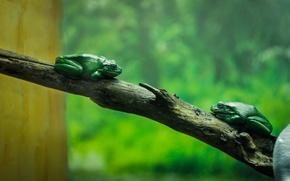 Картинка зеленый, дерево, аквариум, ветка, жаба, frog, зоопарк