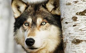 Картинка взгляд, хищник, Волк, береза