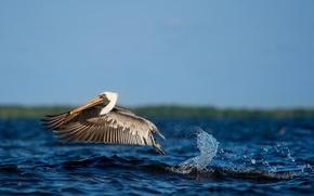 Картинка water, flight, splash, wildlife, pelican