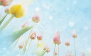 Обои небо, цветы, тюльпаны