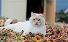 Картинка кошка, взгляд, листья, белая, опавшие, осенние