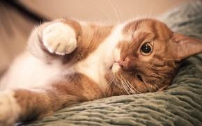 Обои лапы, нос, Кот, рыжий, прищурил глаз