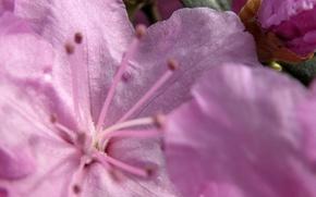 Обои цветок, макро, розовый, нежный