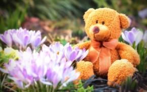 Обои цветы, плюшевый, Тедди, весенний, крокусы, мишка, весна