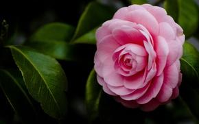 Картинка цветок, макро, розовый, лепестки, камелия