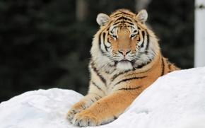Обои снег, тигр, лапы
